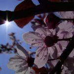 Zierpflaume Bluete Prunus x yedoensis 04