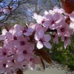 Zierpflaume Bluete Prunus x yedoensis 05