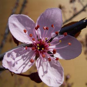 Zierpflaume Prunus cerasifera 01