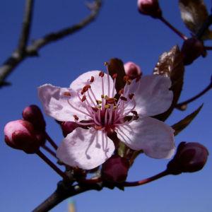 Zierpflaume Prunus cerasifera 02