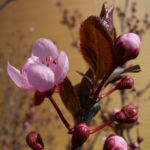 Zierpflaume Prunus cerasifera 03