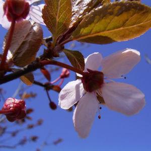 Zierpflaume Prunus cerasifera 04