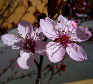 Zierpflaume Prunus cerasifera 05
