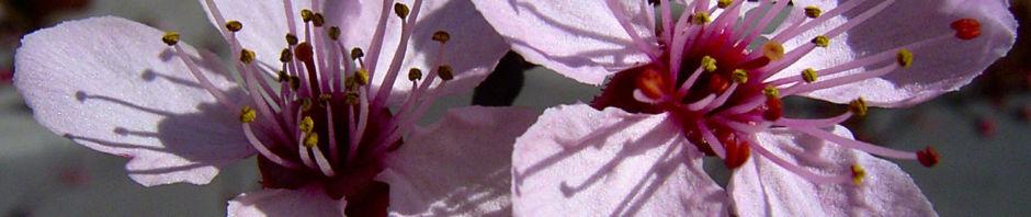 blutpflaume-bluete-rosa-prunus-cerasifera-nigra