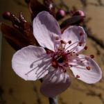 Zierpflaume Prunus cerasifera 06