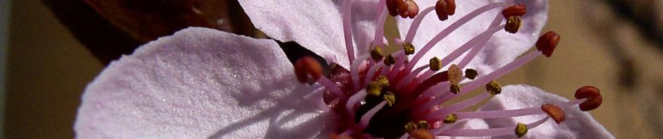 Anklicken um das ganze Bild zu sehen Blutpflaume Blüte rosa Prunus cerasifera nigra
