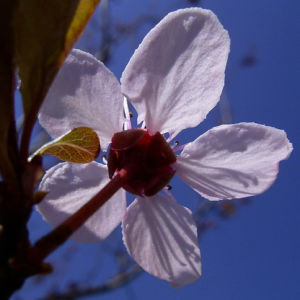 Zierpflaume Prunus cerasifera 07