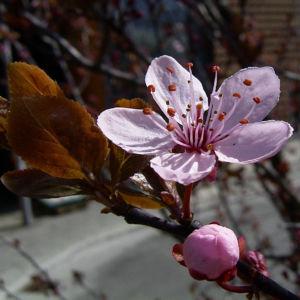 Zierpflaume Prunus cerasifera 08