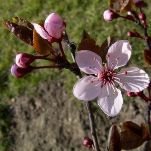 Zierpflaume Prunus cerasifera 09