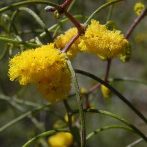 Zigzag Wattle Bluete gelb Acacia merinthophora 04
