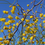 Zigzag Wattle Bluete gelb Acacia merinthophora 05
