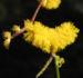 Zurück zum kompletten Bilderset Zig Zag Wattle Blüte gelb Acacia merinthophora