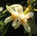 Zitrone Baum Bluete weiss Citrus limon 01
