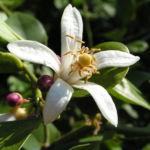 Zitrone Baum Bluete weiss Citrus limon 04