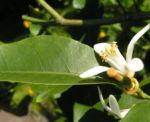 Zitrone Baum Bluete weiss Citrus limon 05