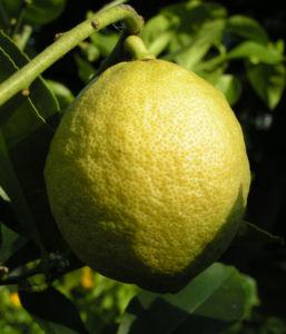 Zitrone Baum Bluete weiss Citrus limon 07
