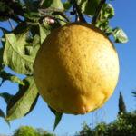 Zitronen Baum Frucht gelb Citrus x limon 02