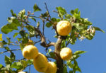 Zitronen Baum Frucht gelb Citrus x limon 06