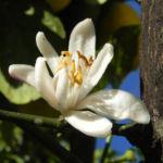 Zitronen Baum Frucht gelb Citrus x limon 08