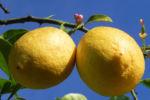 Bild: Zitronenbaum Frucht gelb Blüte weiß Rinde Citrus x limon