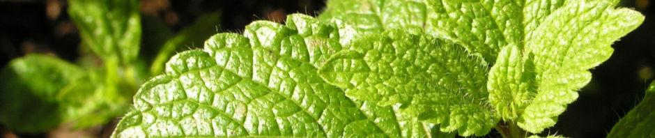 zitronenmelisse-blatt-gruen-melissa-officinalis