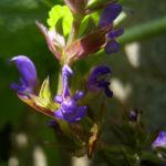 Zitronen Thymian Thymus x citriodorus 01