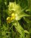 Zurück zum kompletten Bilderset Zottiger Klappertopf Blüte gelb Rhinanthus alectorolophus