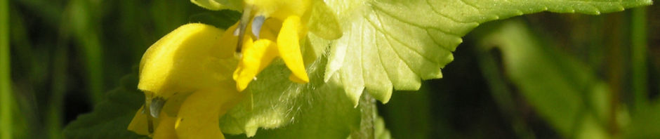 Anklicken um das ganze Bild zu sehen Zottiger Klappertopf Blüte gelb Rhinanthus alectorolophus