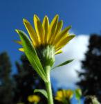 Zottiges Goldauge Bluete gelb Heterotheca villosa 03