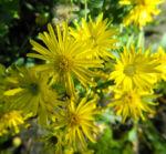 Zottiges Goldauge Bluete gelb Heterotheca villosa 06