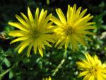 Zottiges Goldauge Bluete gelb Heterotheca villosa 07