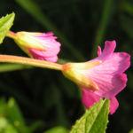 Zottiges Weidenroeschen Bluete pink Epilobium hirsutum 03