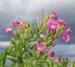 Zottiges Weidenroeschen Bluete rosa Epilobium Hirsutum 01
