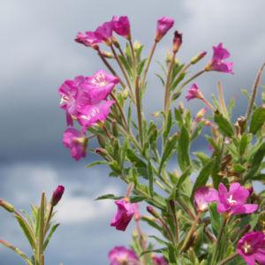 Zottiges Weidenroeschen Bluete rosa Epilobium Hirsutum 02