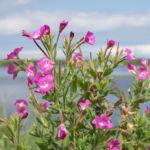 Bild: Zottiges Weidenröschen Blüte rosa Epilobium hirsutum