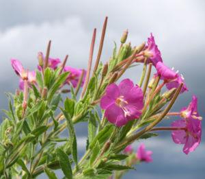 Zottiges Weidenroeschen Bluete rosa Epilobium Hirsutum 04