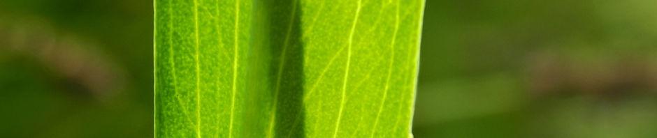 zungen-hahnenfuss-bluete-gelb-ranunculus-lingua