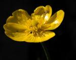 Zungen Hahnenfuss Bluete gelb Ranunculus lingua 01