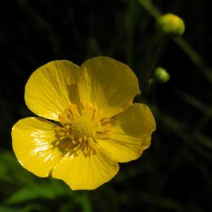 Zungen Hahnenfuss Bluete gelb Ranunculus lingua 02