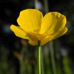 Zungen Hahnenfuss Bluete gelb Ranunculus lingua 03
