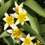 Zweiblaettrige Tulpe Bluete hellgelb Tulipa biflora 02