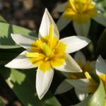 Zweiblaettrige Tulpe Bluete hellgelb Tulipa biflora 03