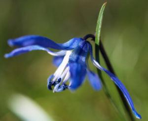 Zweiblaettriger Blaustern Bluete hell blau Scilla bifolia 04
