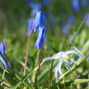 Zweiblaettriger Blaustern Bluete hell blau Scilla bifolia 11