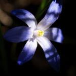 Bild: Zweiblättriger Blaustern Blüte hell blau Scilla bifolia