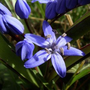 Zweiblaettriger Blaustern Scilla bifolia 02