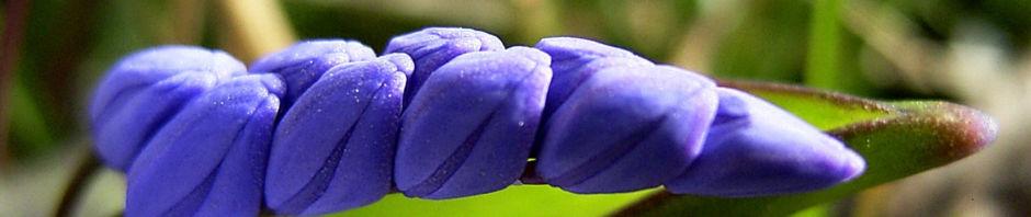 Anklicken um das ganze Bild zu sehen Zweiblättriger Blaustern Blüte blau Scilla bifolia