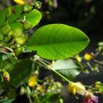 Zweifarbiger Buschklee Blatt gruen Lespedeza bicolor 01