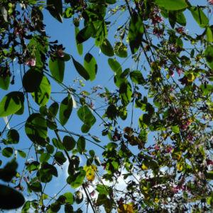 Zweifarbiger Buschklee Bluete pink Lespedeza bicolor 03