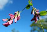 Zweifarbiger Buschklee Bluete pink Lespedeza bicolor 10